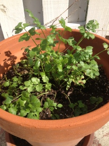 Fresh cilantro growing in my backyard was a nice addition.