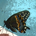 Butterfly image crop – filmgrain