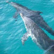 Dolphins in Bimini